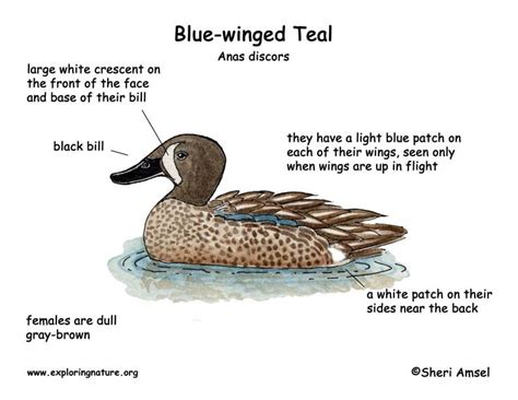 duck diagram duck blue winged teal exploring nature educational