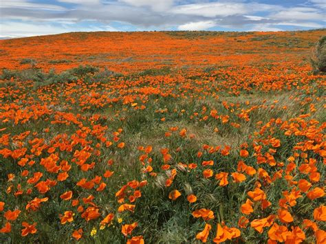 pictures of flowers in southern california where to see the best wildflower shows around los angeles