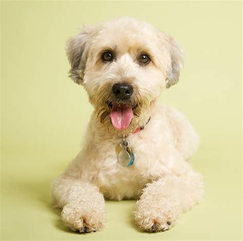 Wheaten Terrier Shedding by Wheaten Terrier Grooming Guide Pets World