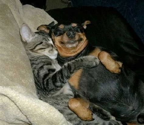 are rottweilers with cats the 12 most awkward rottweiler sleeping