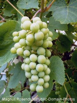 different types of climbing plants edible vine plants vining plants with fruit foliage and