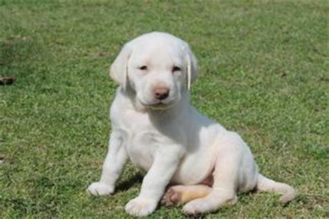 white labrador puppies for sale lab puppies for sale damascus way labradors