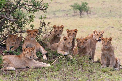 lion film pride image gallery lion herd