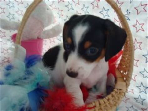 puppies for sale ocala fl dachshund puppies for sale ocala fl dogs our friends photo