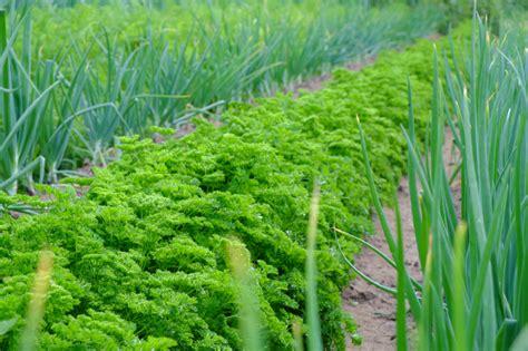 Petersilie Garten Pflanzen by Petersilie Pflanzen 187 Die Wichtigsten Tipps F 252 R Bestes