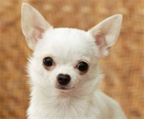 puppies for sale on island chihuahua puppies for sale island manhattan