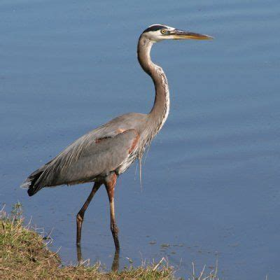 what color is heron farmer shoots great blue heron dies in fur trap dnr