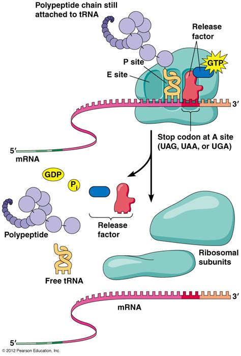protein synthesis protein synthesis to extracellular space www pixshark