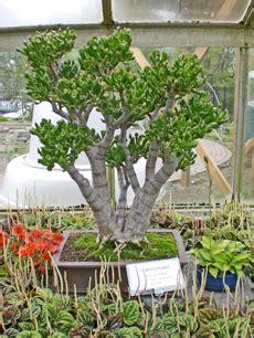 22017 Tropical Summer Sml tropical bonsai tasks in may