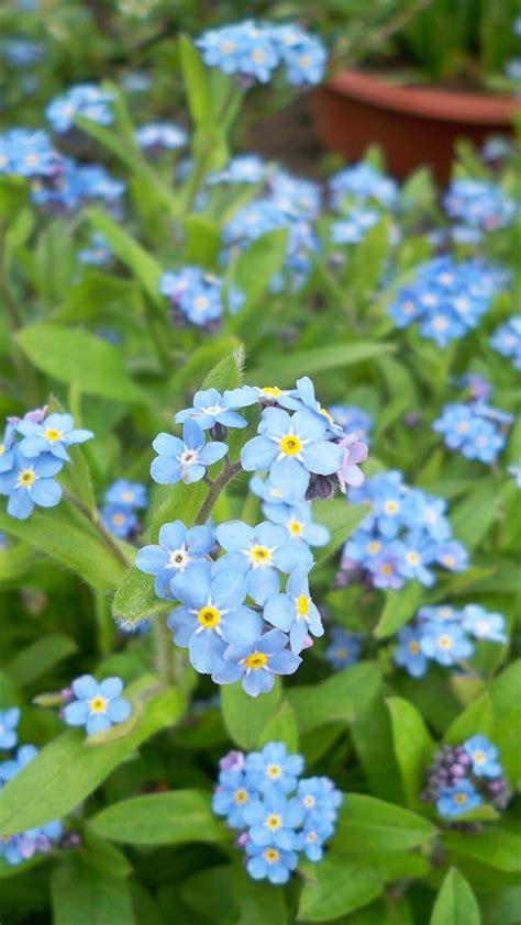 Blume Vergiss Mein Nicht 3822 by Vergissmeinnicht
