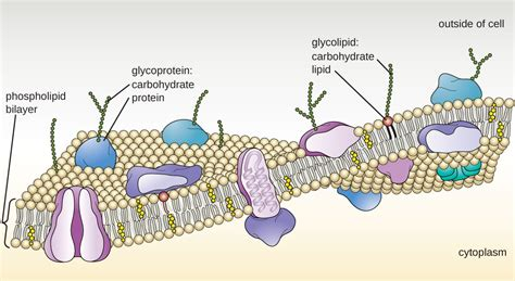 carbohydrates location in cell unique characteristics of eukaryotic cells microbiology