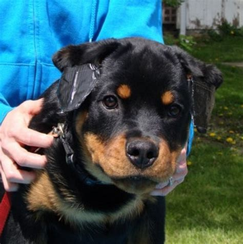 rottweiler with cropped ears image gallery rott ears