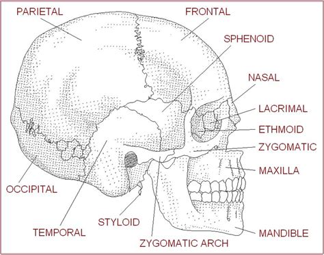 anatomy of the skull worksheet geoface 467bd4e5578e