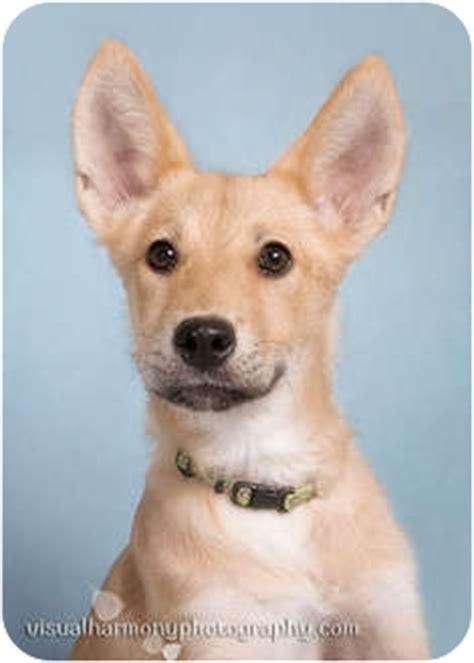 basenji golden retriever mix adopted puppy az basenji golden retriever mix