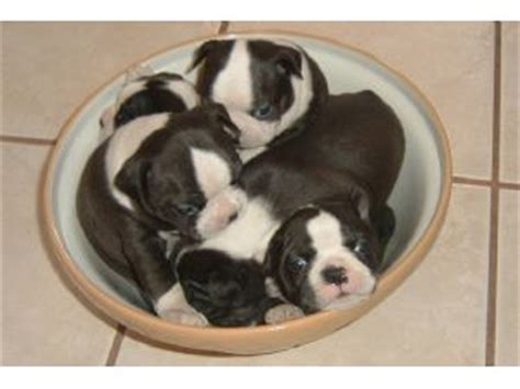 boston terrier puppies mn boston terrier puppies in minnesota