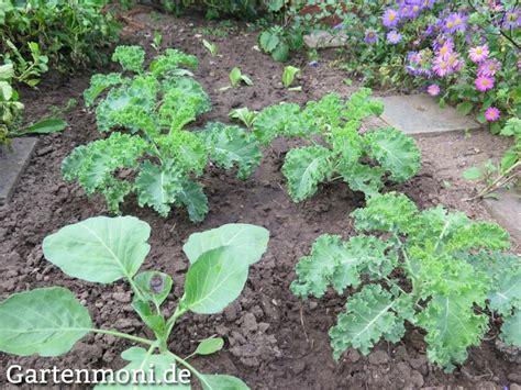 grünkohl wann ernten gr 252 nkohl s 228 en pflanzen pflegen und ernten gartenmoni