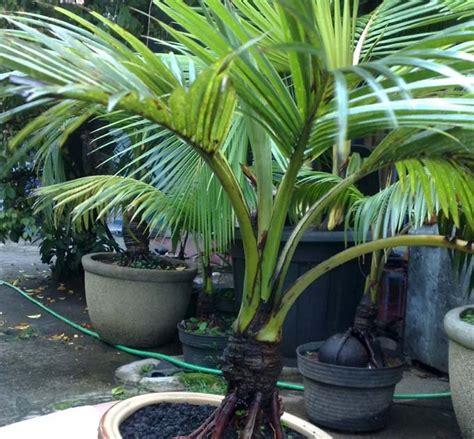 Jual Bibit Bonsai Kelapa bonsai kelapa mini kelapa hijau
