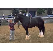 What Is The Biggest Horse In World