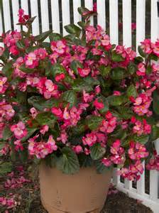 container garden winners 2013 miscellaneous begonias