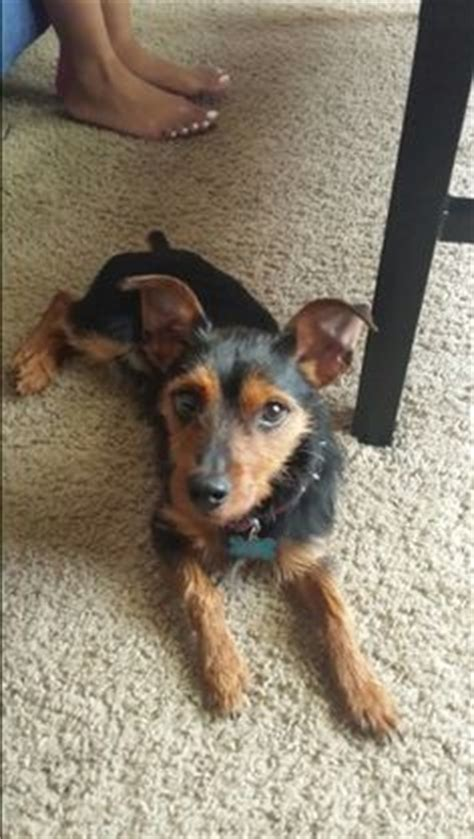 min pin yorkie mix yorkie miniature pinscher mix to the dogs miniature pinscher