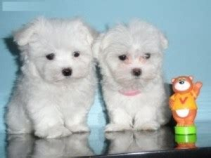 free teacup puppies in nj pets west new york nj free classified ads