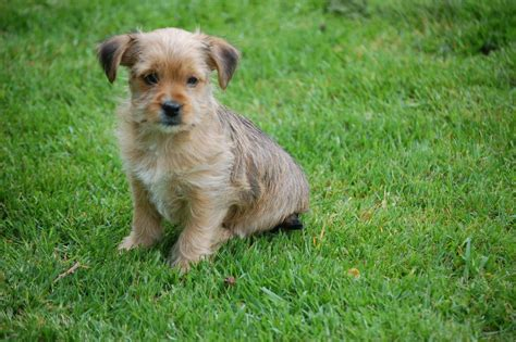 poodle x yorkie poodle x yorkie pups coleford gloucestershire pets4homes