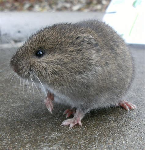 top 28 what is a vole file bank vole jpg wikipedia what is a vole questions and answers