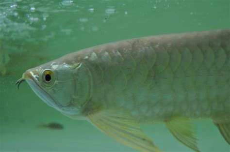 Bibit Arwana Golden wallpaper arowana free wallpaper dawallpaperz
