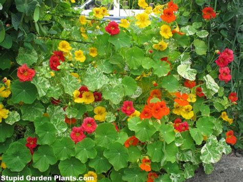 easy to grow climbing plants easy to grow annual climbers stupid garden plants