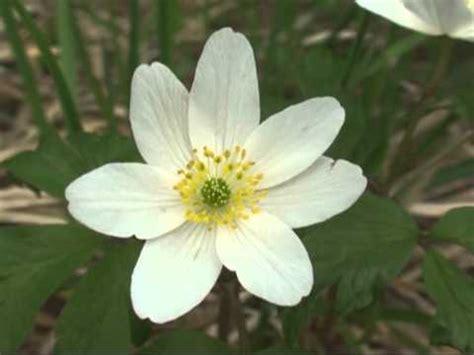 piante e fiori di montagna anemone dei boschi fiori e piante della montagna