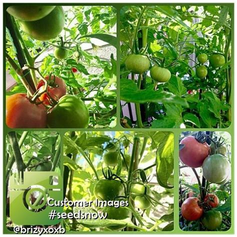 garden variety the american tomato from corporate to heirloom arts and traditions of the table perspectives on culinary history books all in one tomato garden variety pack