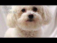 bichon havanese dogs 101 bichon havanese on bichon frise bichons and pumas