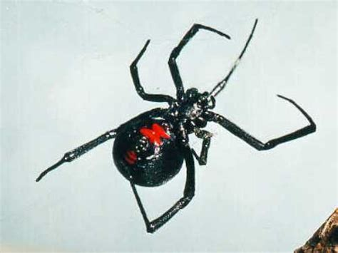 10 interesting black widows facts my interesting facts