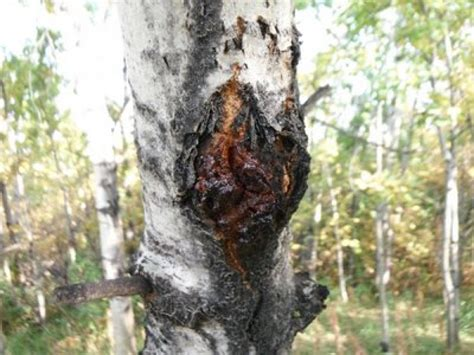 pine trees tree diseases can make trees crack
