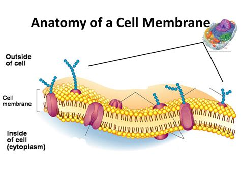 diagram of a cell membrane cell membrane structure and function ppt