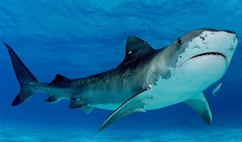imagenes grandes wallpaper tiburones m 225 s grandes del mundo