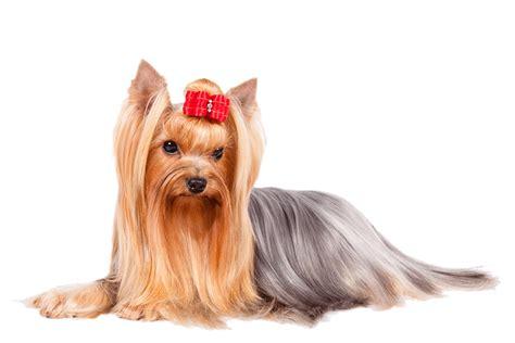 yorkie terrior terrier caract 232 re origine prix 233 ducation et conseils race de chien fr