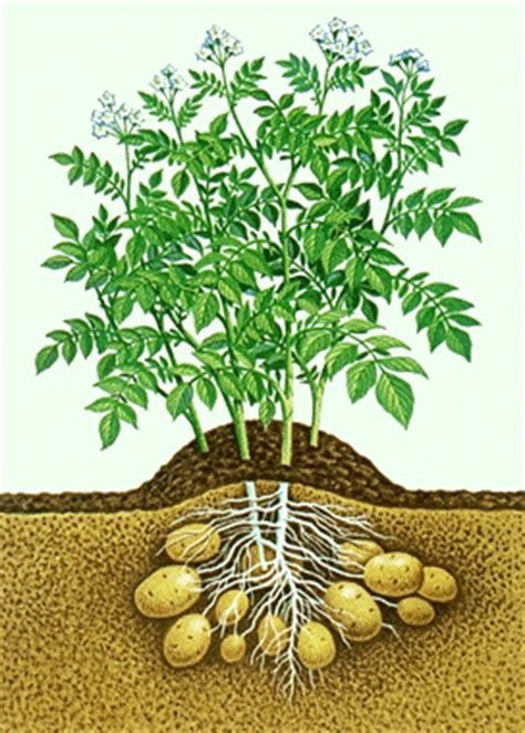 potato plant diagram images frompo 1