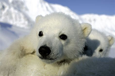 polar and new polar cubs and research
