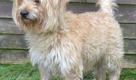 bichon frise cross yorkie benjie 2 year bichon frise cross terrier for adoption