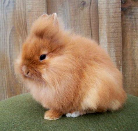 Harga Makanan Kelinci Anggora harga kelinci dan anggora serta cara merawat