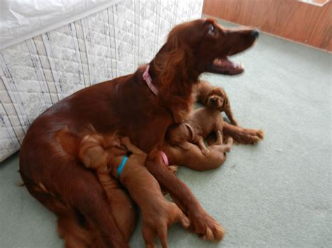 setter dogs for sale irish setter puppies for sale stoke on trent