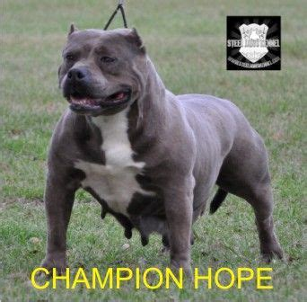 gotti puppies 25 best ideas about gotti pitbull on breeds of terriers staff terrier