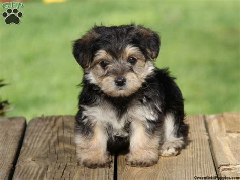 greenfeild puppies dusty morkie puppies for sale from gap pa greenfield puppies puppies