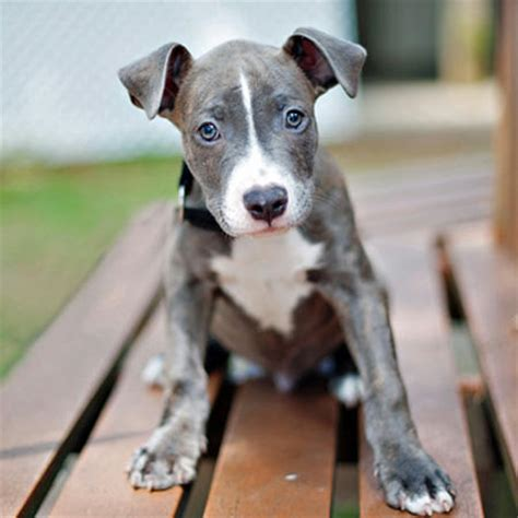 pitbull terrier mix puppies axl the bull terrier mix puppies daily puppy