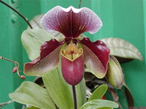 purple slipper orchid purple slippers orchid flowers