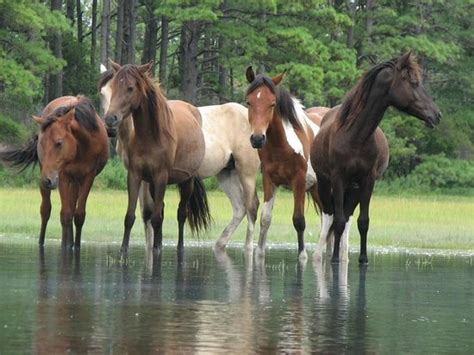 pony island picture7 swimming horses picture of chincoteague island virginia