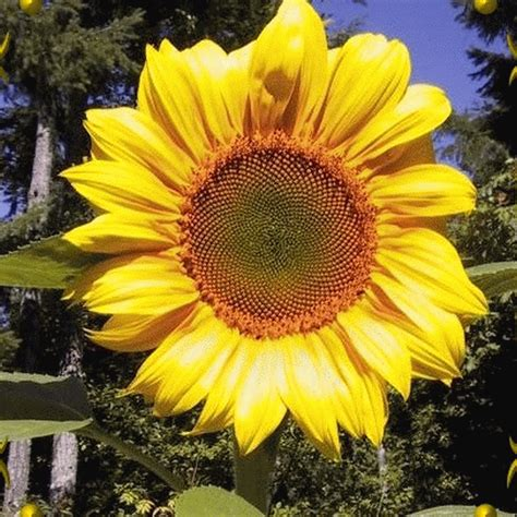 Grey Sunflower helianthus annuus sunflower grey stripe wildflower seeds