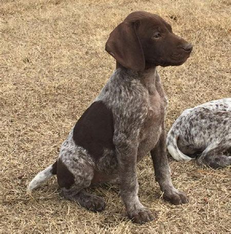 gsp puppies for sale 25 best ideas about german shorthaired pointer on gsp puppies