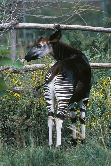 The Giraffes Cousins cousin to the giraffe found living the scientific scientist interrupted